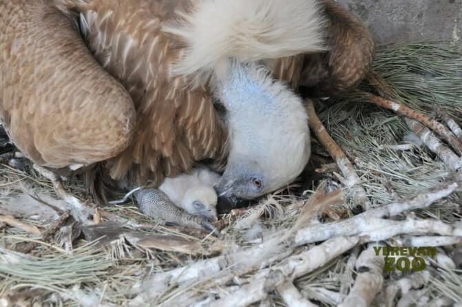 Լավ լուր Սպիտակագլուխ անգղերից. գարնան հետ կենդանաբանական այգին համալրվում է նոր բնակիչներով