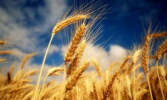 Առանց ցորենի ու հույսի. Գյուղացին` կոտրած տաշտակի առաջ