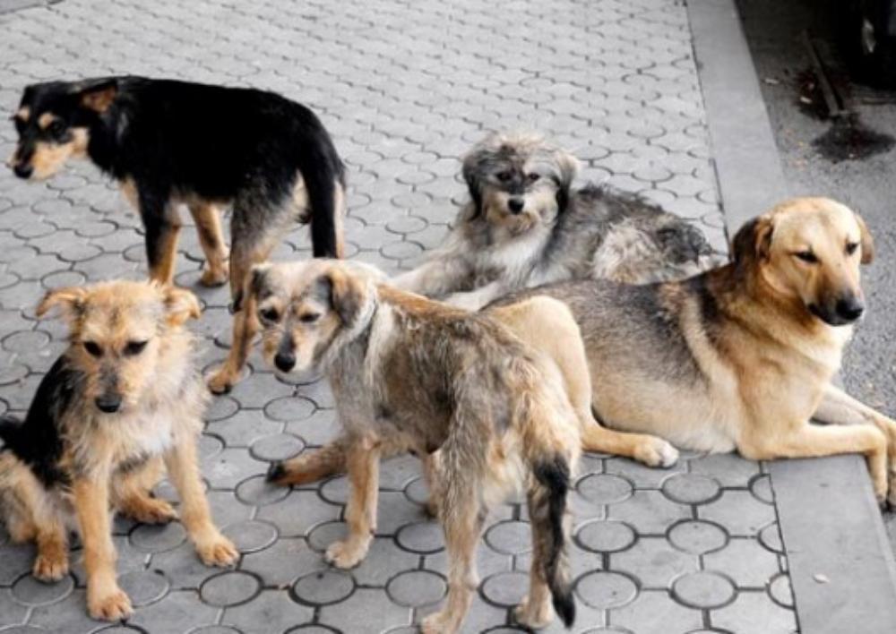 185 միլիոն դրամի յուրացում՝ «Թափառող կենդանիների (շների) ստերջացման և պատվաստման ծառայությունների» մատուցման ընթացքում (ՏԵՍԱՆՅՈՒԹ)
