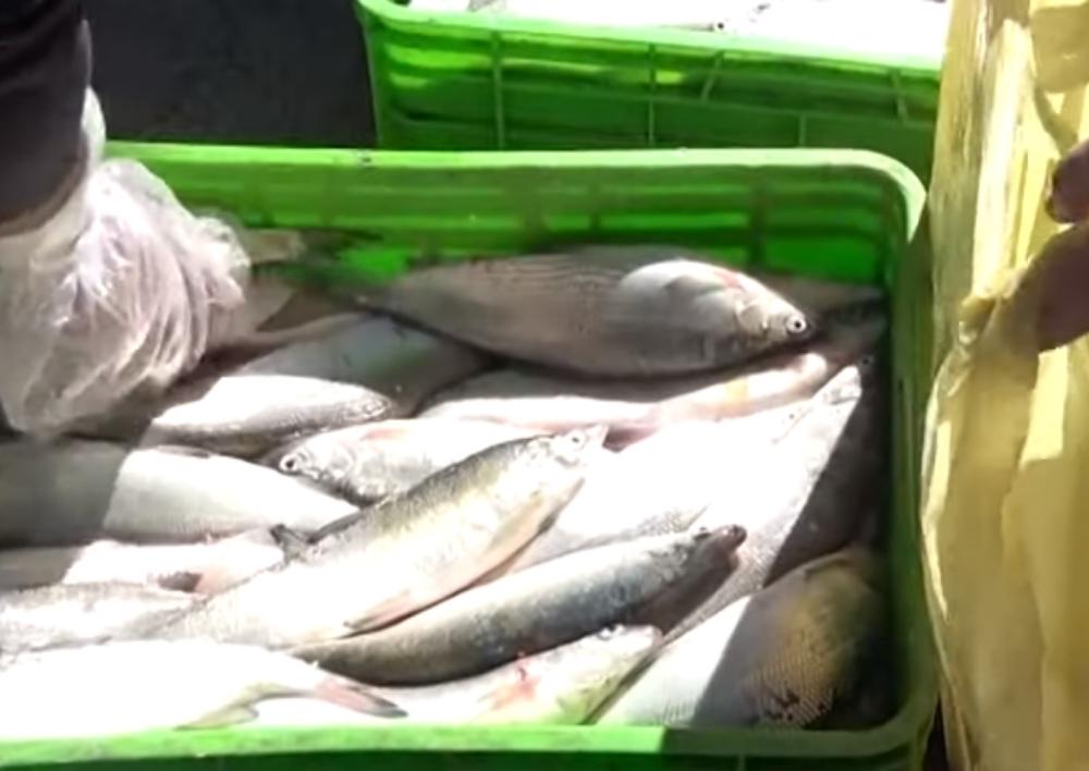 ԱԱԾ բացահայտումը. Կաշառքով ապօրինի արդյունահանել են մեծ քանակությամբ «սիգ» ձուկ