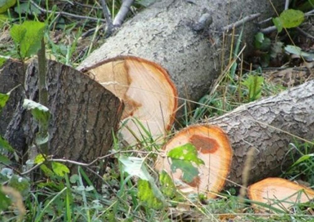 Տավուշում ապօրինի ծառահատման հետևանքով բնությանը կես միլիոն դրամի վնաս է հասցվել