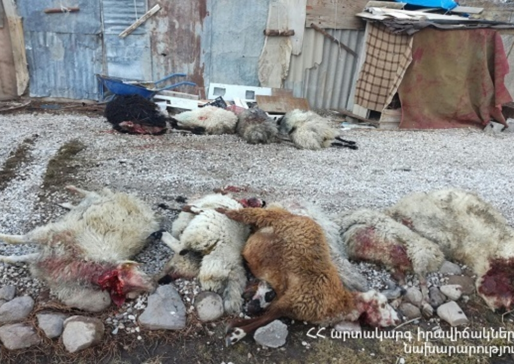 Մարտունի քաղաքի մոտակա սարում գայլերը հոշոտել են 27 ոչխար